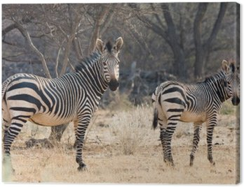 Cow And Kitten - Hartmann Mountain Zebra