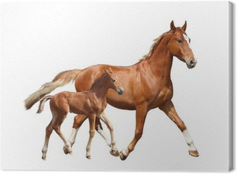 Canvas Print Cute chestnut foal and his mother trotting on white background