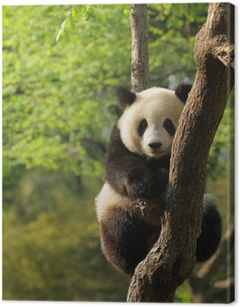 Cute young panda sitting on a tree en face Canvas Print