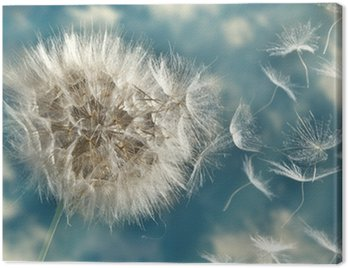 Dandelion Loosing Seeds in the Wind