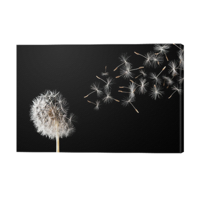 dandelion on black background canvas print pixers we