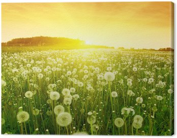 Dandelions in meadow during sunset. Canvas Print