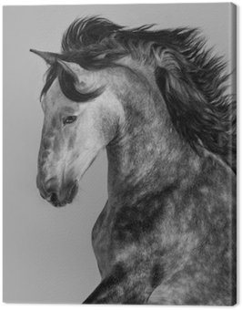 Dapple-grey Andalusian stallion - portrait in motion
