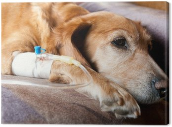 Canvas Print dog lying on bed with cannula in vein taking infusion