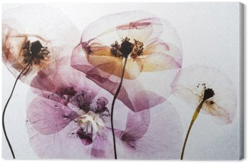 dry poppies Canvas Print