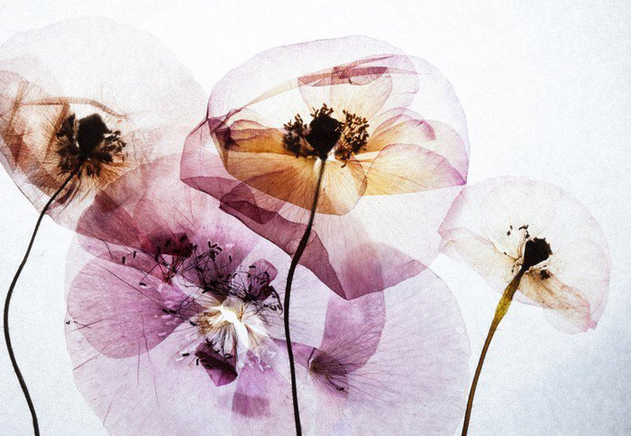 Canvas Print dry poppies - Plants and Flowers