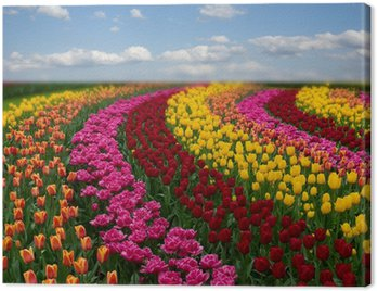 Dutch colorful tulips fields in sunny day Canvas Print
