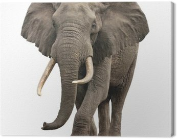 Canvas Print elephant approaching isolated