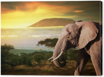 Elephant on savanna. Mount Kilimanjaro at sunset. Safari