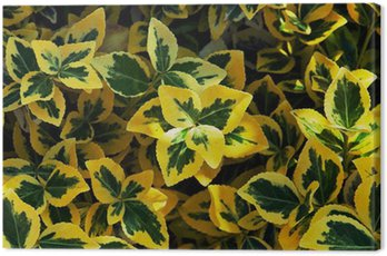 Canvas Print Emerald gold (Euonymus fortunei)