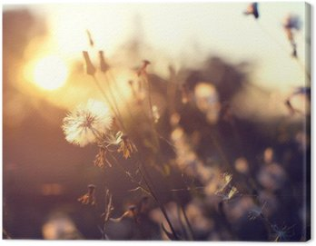 evening autumn nature background, beautiful meadow dandelion flowers in field on orange sunset. vintage filter effect, selective focus point, shallow depth of field