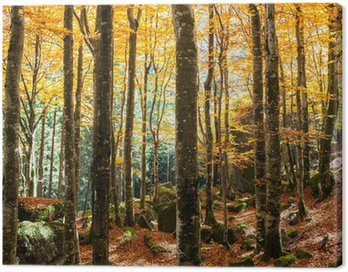 Canvas Print faggeto in autunno