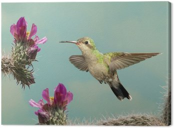 Female Broad-billed Hummingbird hoovering with flowers