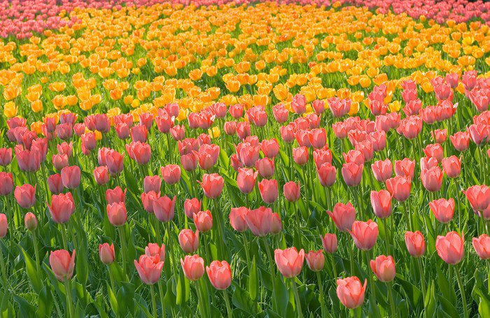 field of pink yellow tulips with green stems grass