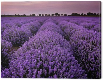Canvas Print Fields of Lavender at sunset