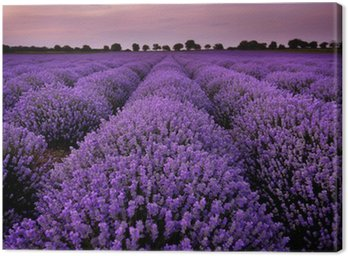 Fields of Lavender at sunset Canvas Print