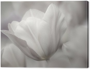Fine art of close-up Tulips, blurred and sharp Canvas Print