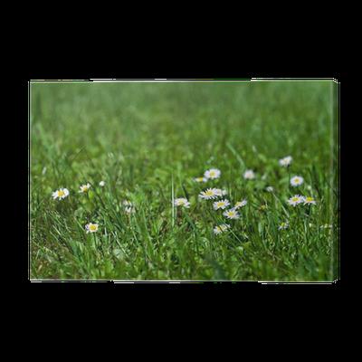 fleurs marguerites herbe verte nature écologie Canvas Print ...