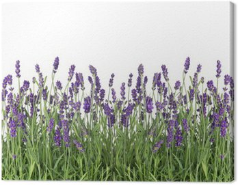 Canvas Print fresh lavender flowers isolated on white