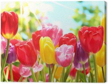 Fresh tulips in warm sunlight Canvas Print
