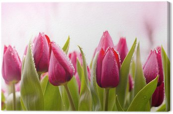 Fresh Tulips with Dew Drops Canvas Print