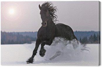 Frisian horse on snow