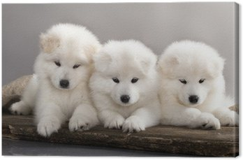 funny puppies of Samoyed dog Canvas Print