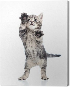 Canvas Print funny standing playful kitten isolated on white background