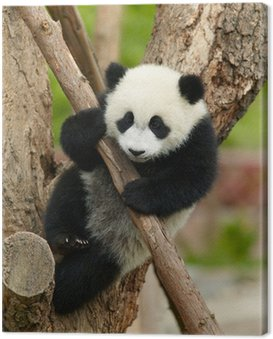 Giant panda baby over the tree Canvas Print