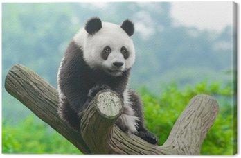 Giant panda bear climbing in tree Canvas Print