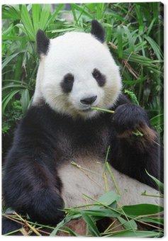 giant panda bear eating bamboo Canvas Print