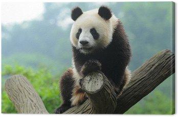 Giant panda bear in tree Canvas Print