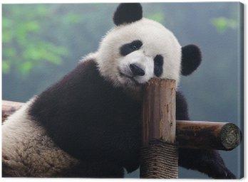 Giant panda bear looking at camera Canvas Print