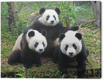 Giant panda bear posing for camera Canvas Print