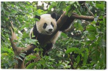 Giant panda climbing tree Canvas Print