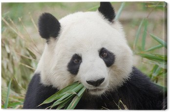 Giant Panda eating bamboo, Chengdu, China Canvas Print