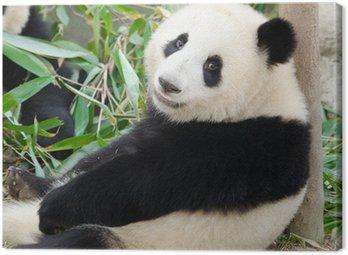 Giant Panda, Sub-adult. Chengdu, China