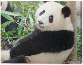 Giant Panda, Sub-adult. Chengdu, China Canvas Print