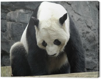 giant panda2 Canvas Print