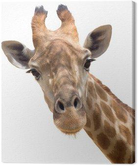 Canvas Print Giraffe closeup