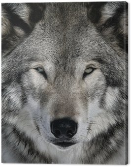 Gray Wolf Canvas Print
