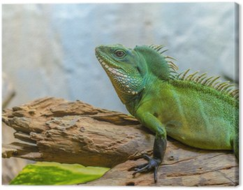 green chameleon Canvas Print