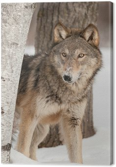 Grey Wolf (Canis lupus) Peers Around Birch Tree Canvas Print