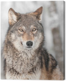 Grey Wolf (Canis lupus) with One Ear Back Canvas Print