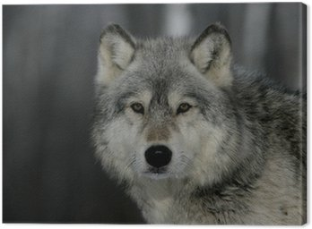 Grey wolf, Canis lupus Canvas Print