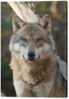 Grey Wolf - Canis Lupus Canvas Print
