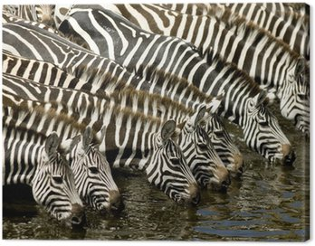 Canvas Print Herd of zebra at Masai mara Kenya
