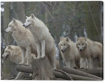 Canvas Print Horde of arctic wolves