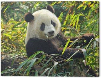 Hungry giant panda bear eating bamboo Canvas Print