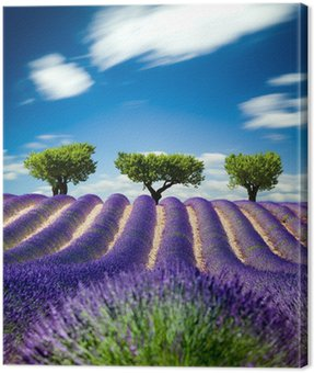 Lavande Provence France / lavender field in Provence, France Canvas Print